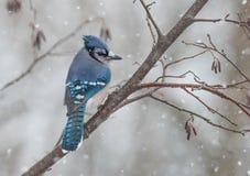 Oiseau de bleu d'hiver photographie stock libre de droits