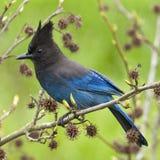 Oiseau de bleu de Jay de Steller photographie stock libre de droits