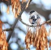 Oiseau de bouvreuil sur une branche Photos libres de droits