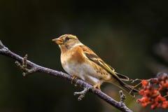 Oiseau de Brambling, montifringilla de Fringilla, dans les baies de alimentation de plumage d'hiver photo stock