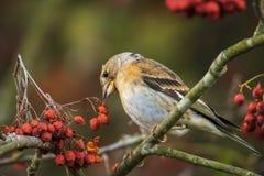 Oiseau de Brambling, montifringilla de Fringilla, dans les baies de alimentation de plumage d'hiver image stock