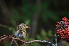 Oiseau de Brambling, montifringilla de Fringilla, dans les baies de alimentation de plumage d'hiver photo libre de droits