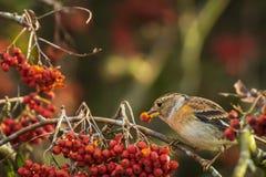 Oiseau de Brambling, montifringilla de Fringilla, dans les baies de alimentation de plumage d'hiver photos stock