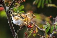 Oiseau de Brambling, montifringilla de Fringilla, dans les baies de alimentation de plumage d'hiver photos libres de droits