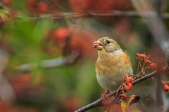 Oiseau de Brambling, montifringilla de Fringilla, dans les baies de alimentation de plumage d'hiver image libre de droits