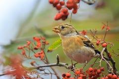 Oiseau de Brambling, montifringilla de Fringilla, dans les baies de alimentation de plumage d'hiver images libres de droits