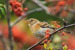 Oiseau de Brambling, montifringilla de Fringilla, en alimentation de plumage d'hiver photos libres de droits