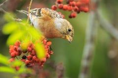 Oiseau de Brambling, montifringilla de Fringilla, en alimentation de plumage d'hiver image libre de droits