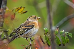 Oiseau de Brambling, montifringilla de Fringilla, en alimentation de plumage d'hiver image stock
