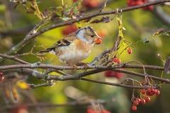 Oiseau de Brambling, montifringilla de Fringilla, en alimentation de plumage d'hiver photo stock
