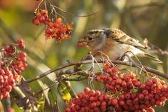 Oiseau de Brambling, montifringilla de Fringilla, en alimentation de plumage d'hiver photographie stock