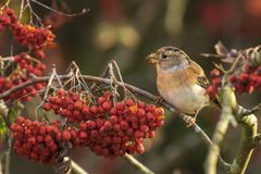 Oiseau de Brambling, montifringilla de Fringilla, en alimentation de plumage d'hiver images stock