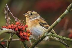Oiseau de Brambling, montifringilla de Fringilla, en alimentation de plumage d'hiver photographie stock libre de droits