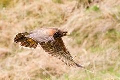 Oiseau de Buzzard Photos libres de droits