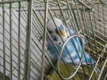 Oiseau de cage Image libre de droits
