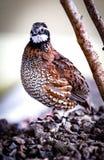 Oiseau de caille Photo libre de droits