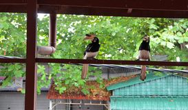 Oiseau de calao sur la structure en bois de maison Photographie stock