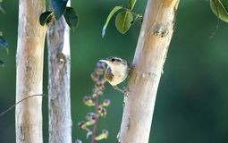 Oiseau de Carolina Wren, Clarke County GA Etats-Unis Photographie stock libre de droits