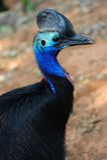 Oiseau de casoar Images stock