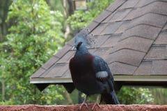 Oiseau de casoar, désambiguisation de casoar photographie stock