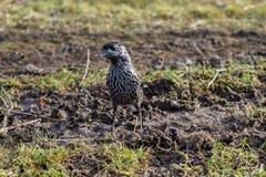 Oiseau de casse-noix vous tenant et regardant Images stock