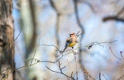 Oiseau de Cedar Waxwing dans un buisson avec des baies pendant le printemps Images stock