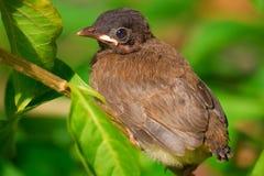 Oiseau de chéri image stock