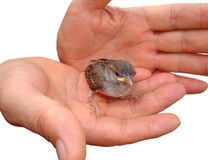 Oiseau de chéri Photos stock