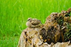 Oiseau de chéri photo libre de droits