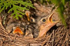 Oiseau de chéri affamé Photos libres de droits