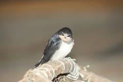 Oiseau de chéri d'une hirondelle Images libres de droits