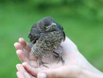 Oiseau de chéri dans la main Photographie stock