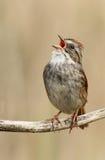 Oiseau de chant Images libres de droits