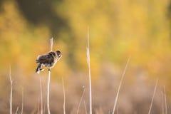 Oiseau de chant dans les roseaux Photographie stock libre de droits