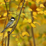 Oiseau de Chickadee Photo libre de droits