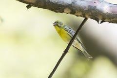Oiseau de chloris de verdier Images libres de droits