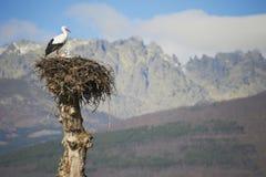 Oiseau de cigogne sur l'emboîtement Photos libres de droits
