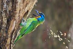 Oiseau de cinq couleurs picotant le trou d'arbre Images stock