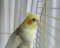 Oiseau de Cockatiel dans une cage Photo libre de droits