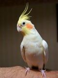 Oiseau de Cockatiel sur le bras de propriétaires Images stock