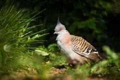 Oiseau de colombe Image libre de droits