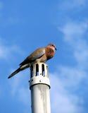 Oiseau de colombe Images libres de droits