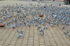 Oiseau de colombe de roche Image libre de droits