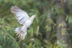Oiseau de colombe de tortue Images libres de droits
