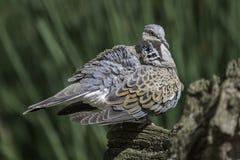 Oiseau de colombe de tortue avec les plumes hérissées Photo libre de droits
