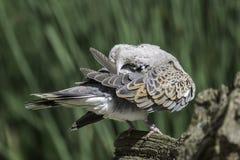 Oiseau de colombe de tortue lissant ses plumes Image libre de droits