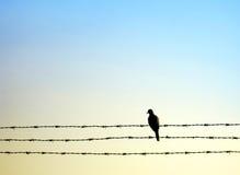 Oiseau de colombe sur le fil de bavure