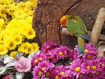 Oiseau de conure de Sun dans le jardin Photos libres de droits