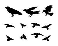 Oiseau de corbeau de vol de silhouette, vecteur Photo stock
