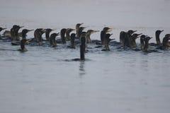 Oiseau de Cormorant Photographie stock